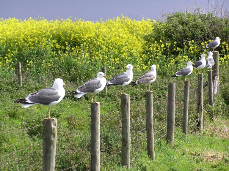 Seagulls on Flat Holm Island